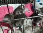 自家繁殖小猫刚满月