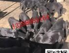 三个月的小黑狼犬多少钱纯种黑狼犬价格图片