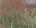 低价大量处理自家占地桃树苗2-10公分 地已占急处