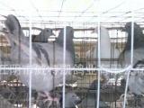 供应彩羽肉鸽种鸽:银王鸽、灰王鸽、红卡奴、泰深鸽