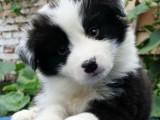 中山纯种边境牧羊犬价格多少中山边牧幼犬价钱
