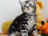 大连哪里出售美国虎斑短毛猫多少钱一只