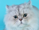 专业养殖场养殖可爱的金吉拉猫,支持空运 欢迎 咨 询