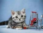 青岛买猫 纯种美国短毛猫虎纹幼猫 会吃猫粮用猫砂 下单送豪礼