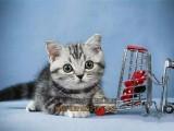 济宁买猫 纯种美国短毛猫虎纹幼猫 会吃猫粮用猫砂 下单送豪礼