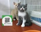 济南哪里有宠物店 济南哪里卖宠物猫便宜 济南蓝猫价格