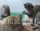 黄山松鼠幼崽大量接批,养殖场直供
