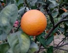桂林埃及糖橙