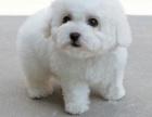 棉花糖般的比熊幼犬纽扣眼毛量足小体比熊幼犬等你抱