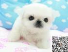出售纯种京巴幼犬 价格合理品质保证可上门挑选