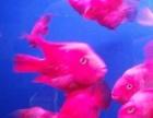 美丽健康的红鹦鹉鱼