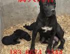 卡斯罗护卫犬最新价格纯种卡斯罗幼崽出售
