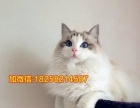 29纯种布偶猫出售 性格温顺爱粘人29