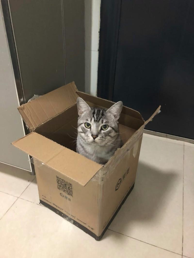 亲人(一岁多)公猫美短毛猫