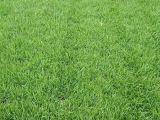 丹麦草 月季 黄杨绿篱北京房山 河北涿州园林绿化草坪供应