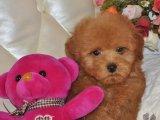 自家犬舍繁育-玩具迷你茶杯泰迪犬-签健康协议