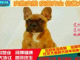 专业养殖场出售赛级血统法国斗牛幼犬 可上门挑选!