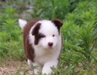 出售纯种边牧宝宝 狗狗活泼可爱 包健康
