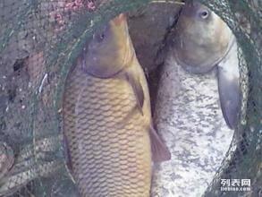 保定鱼苗养殖批发 锦鲤鱼苗厂家价格