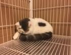 纯种加菲猫价格是多少?贵不贵?