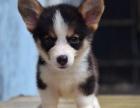 双血统威尔士短腿小柯基犬 健康品质保证