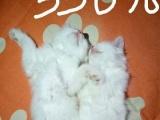 出售自家波斯猫生的猫崽