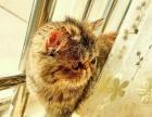 转让加菲猫一只。