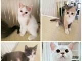自家繁育小猫出售。价格便宜。可挑选
