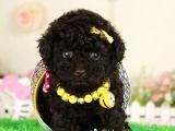 哪一家宠物店卖纯种健康的贵宾犬多少钱一只