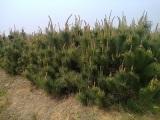 山西油松价格,低价油松,1.5米2米3米油松价格