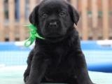 重庆哪里出售拉布拉多犬 重庆家宠物店信誉好