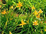 地被植物批发——优质萱草批发价格