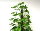 福州专业办公室绿植租摆出租 绿化环境,美化生活