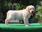 国内拉布拉多骨量超大 毛色超好 购犬签质保协