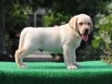 拉布拉多幼犬神犬小七导盲犬家庭伴侣犬陪伴小孩