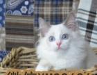 赛级英短蓝猫宝宝,正八字脸,粉笔字,非常仙美