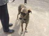 蒙古草原猎犬