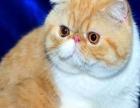 猫舍实体店加菲猫,卷耳猫,蓝白英短等60多个猫咪