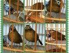 画眉,打鸟,唱鸟,邹鸟
