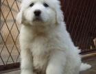 石家庄出售包健康纯种 大白熊幼犬 当面检测犬瘟细小