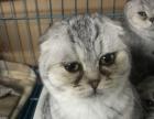 纯种苏格兰折耳短毛小猫和立耳短毛小l猫
