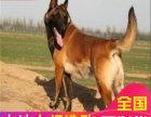 繁殖高端马犬 血统纯正 兴奋度高 适合训练 价不高