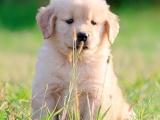 专业赛级纯种大头金毛幼犬 金毛狗 纯种健康保障
