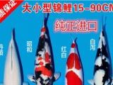 绍兴锦鲤,鉴源堂锦鲤,日本纯正锦鲤观赏鱼