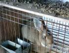 出售宠物兔,獭兔,比利时兔