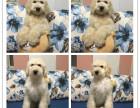 春季特惠基地出售高品质巨型贵宾犬纯种包活 巨贵幼犬
