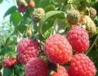 各种小树 红树莓,黑树莓,黑加仑,灯笼果,黑红枸杞