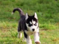 南京出售哈士奇幼犬 南京哪里有卖纯种健康哈士奇犬 包健康纯种