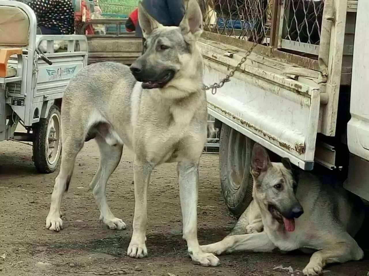 纯种狼青犬多少钱一只哪里有卖的怎么联系卖家