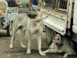 赛级马犬出售双血统带证书疫苗驱虫已做完保健康可视频看狗